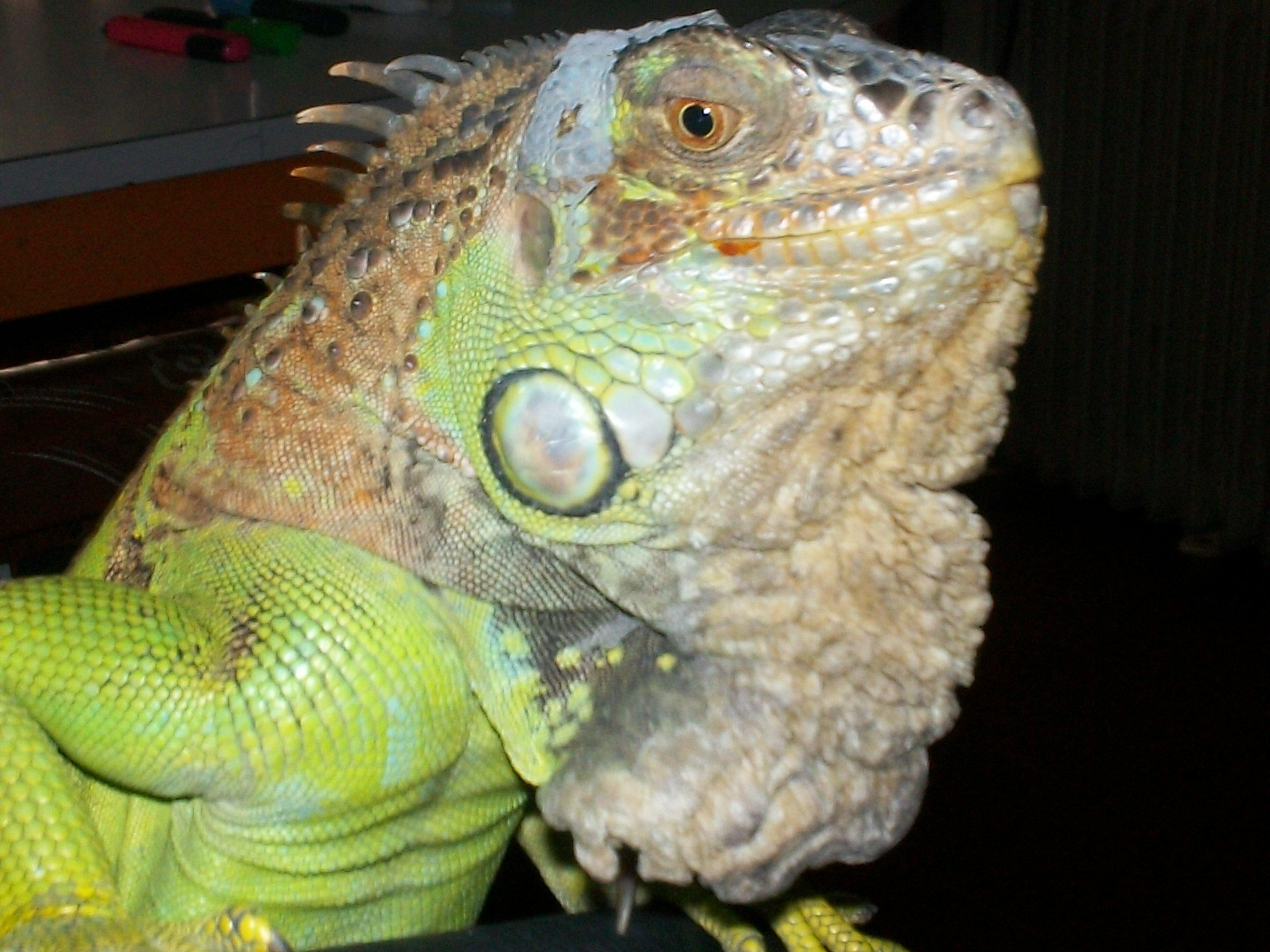 Iguana verde con problemas de piel
